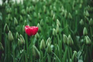 a red rose in a green field